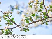 Цветения яблони. Стоковое фото, фотограф Александр Андреевич Сячин / Фотобанк Лори
