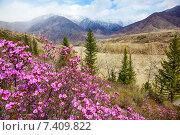 Купить «Altai landscape with Rhododendron dauricum flowers», фото № 7409822, снято 29 апреля 2015 г. (c) Serg Zastavkin / Фотобанк Лори