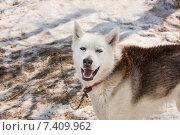 Собака породы хаски в питомнике на Камчатке. Стоковое фото, фотограф Федоренко Борис / Фотобанк Лори
