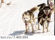 Собаки хаски в упряжке. Стоковое фото, фотограф Федоренко Борис / Фотобанк Лори