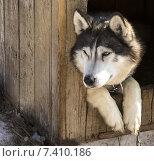 Сибирский хаски в питомнике для собак. Стоковое фото, фотограф Федоренко Борис / Фотобанк Лори
