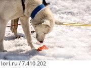 Собака в упряжке ест рыбу. Стоковое фото, фотограф Федоренко Борис / Фотобанк Лори