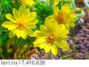 Купить «Адонис (Adonis) — род растений семейства Лютиковые (Ranunculaceae). Группа цветов», фото № 7410638, снято 15 мая 2014 г. (c) Евгений Мухортов / Фотобанк Лори