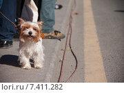 Собака с георгиевской лентой на параде победы. Стоковое фото, фотограф Katerina Uno / Фотобанк Лори
