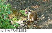 Купить «Макаки - обезьяна мать и ребенок», видеоролик № 7412882, снято 9 мая 2015 г. (c) Михаил Коханчиков / Фотобанк Лори