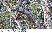 Купить «Полосатые дроздовые тимелии (Turdoides striatus)», видеоролик № 7413558, снято 10 мая 2015 г. (c) Михаил Коханчиков / Фотобанк Лори
