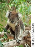Купить «Австралийский коала», фото № 7420666, снято 1 апреля 2013 г. (c) Кропотов Лев / Фотобанк Лори