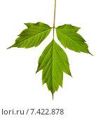 Купить «Зеленый лист на белом фоне», фото № 7422878, снято 29 апреля 2015 г. (c) Анна Полторацкая / Фотобанк Лори