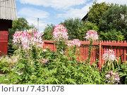 Купить «Клеома колючая (Cleome spinosa) или цветок-паук», фото № 7431078, снято 23 августа 2014 г. (c) Алёшина Оксана / Фотобанк Лори