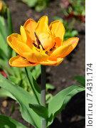 Один желтый тюльпан (лат. Tulipa) Стоковое фото, фотограф lana1501 / Фотобанк Лори