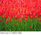 Цветущие красные тюльпаны (лат. Tulipa) Стоковое фото, фотограф lana1501 / Фотобанк Лори