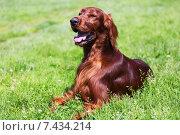 Купить «Irish Setter lying on grass», фото № 7434214, снято 8 июля 2014 г. (c) Яков Филимонов / Фотобанк Лори