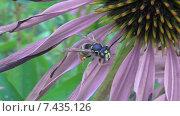 Пчела сидит на цветке. Стоковое видео, видеограф Андрей Каретников / Фотобанк Лори