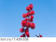 Плоды клещевины обыкновенной (Ricinus communis) Стоковое фото, фотограф Алёшина Оксана / Фотобанк Лори