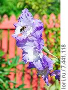 Купить «Шмель на цветке гладиолуса (Gladiolus)», эксклюзивное фото № 7441118, снято 21 августа 2014 г. (c) Алёшина Оксана / Фотобанк Лори