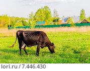 Купить «Корова тёмной масти, пасущаяся на весеннем лугу. Подмосковье.», фото № 7446430, снято 12 мая 2015 г. (c) Устенко Владимир Александрович / Фотобанк Лори