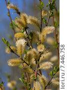 Ива козья цветущая весной (Salix caprea) Стоковое фото, фотограф Алексей Петров / Фотобанк Лори
