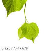 Купить «Весенние липовые листья на белом фоне», фото № 7447678, снято 29 апреля 2015 г. (c) Анна Полторацкая / Фотобанк Лори