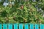 Соседская яблоня, эксклюзивное фото № 7450682, снято 18 августа 2013 г. (c) Алёшина Оксана / Фотобанк Лори