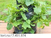 Сад и огород: выращивание огурцов в мешках и бочках. Стоковое фото, фотограф yaray / Фотобанк Лори