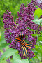 Георгиевская ленточка на цветах сирени, эксклюзивное фото № 7453462, снято 19 мая 2015 г. (c) Svet / Фотобанк Лори