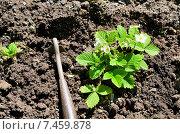 Купить «Разрыхление земли вокруг куста клубники», фото № 7459878, снято 20 мая 2015 г. (c) Игорь Кутателадзе / Фотобанк Лори