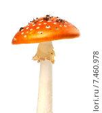 Купить «Гриб мухомор красный (Amanita muscaria) с кусками грязи», фото № 7460978, снято 19 сентября 2013 г. (c) Анна Полторацкая / Фотобанк Лори