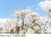 Купить «Бодяк полевой на фоне голубого неба (Cirsium arvense)», эксклюзивное фото № 7464286, снято 18 августа 2013 г. (c) Алёшина Оксана / Фотобанк Лори