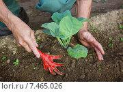 Купить «Окучивание растения капусты», фото № 7465026, снято 22 мая 2015 г. (c) Александр Романов / Фотобанк Лори