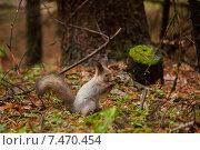 Купить «Полинявшая на зиму белка в осеннем лесу», фото № 7470454, снято 5 ноября 2012 г. (c) Сайганов Александр / Фотобанк Лори