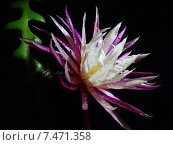Цветок Cryptocereus / Selenicereus anthonyanus. Стоковое фото, фотограф Елена Алексеева / Фотобанк Лори
