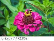 Купить «Шмель на цветке циннии (Zinnia)», эксклюзивное фото № 7472862, снято 16 августа 2013 г. (c) Алёшина Оксана / Фотобанк Лори