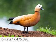 Красная утка (огарь) Стоковое фото, фотограф Игорь Леонов / Фотобанк Лори