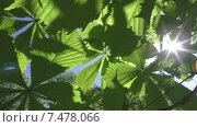 Купить «Листья каштана в лучах солнца», видеоролик № 7478066, снято 25 мая 2015 г. (c) Звездочка ясная / Фотобанк Лори
