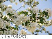 Ветка цветущей яблони на фоне голубого неба. Стоковое фото, фотограф Михаил Степанов / Фотобанк Лори