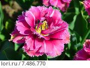 Купить «Махровый тюльпан или пионовидный (лат. Tulipa)», эксклюзивное фото № 7486770, снято 11 мая 2015 г. (c) lana1501 / Фотобанк Лори