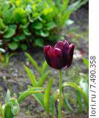 Красный тюльпан с паутиной. Стоковое фото, фотограф Аксенова Вера / Фотобанк Лори