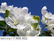 Купить «Цветы яблони на фоне голубого неба», фото № 7490902, снято 1 июня 2013 г. (c) Евгений Ткачёв / Фотобанк Лори