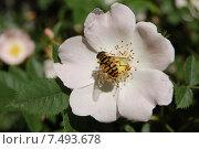 Пчела на цветке шиповника. Стоковое фото, фотограф Ирина Семчук / Фотобанк Лори