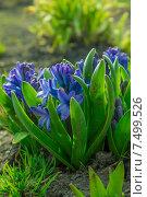Синие цветы. Стоковое фото, фотограф Сотникова Кристина / Фотобанк Лори