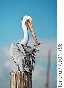 Пеликан чистит перья. Стоковое фото, фотограф Татьяна Кривая / Фотобанк Лори
