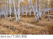 Купить «Опушка леса. Березы», эксклюзивное фото № 7501850, снято 26 сентября 2007 г. (c) Александр Щепин / Фотобанк Лори