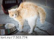 Испуганная кошка с шерстью дыбом выгнула спину. Стоковое фото, фотограф Типляшина Евгения / Фотобанк Лори