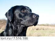 Купить «Черный лабрадор», фото № 7516186, снято 16 января 2015 г. (c) Татьяна Кахилл / Фотобанк Лори