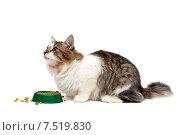 Кошка сидит возле миски с кормом и смотрит вверх. Стоковое фото, фотограф Ласточкин Евгений / Фотобанк Лори