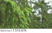 Купить «Лес. Ель. Побеги.», видеоролик № 7519878, снято 3 июня 2015 г. (c) Звездочка ясная / Фотобанк Лори