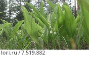 Купить «Лес. Ландыши», видеоролик № 7519882, снято 3 июня 2015 г. (c) Звездочка ясная / Фотобанк Лори
