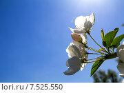 Купить «Цветы яблони на фоне голубого неба», фото № 7525550, снято 1 июня 2013 г. (c) Евгений Ткачёв / Фотобанк Лори