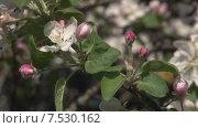Купить «Цветки и бутоны яблони. Мельба.», видеоролик № 7530162, снято 20 мая 2015 г. (c) Mike The / Фотобанк Лори