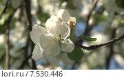 Купить «Цветущая яблоня, белые цветки. Штрейфлинг», видеоролик № 7530446, снято 20 мая 2015 г. (c) Mike The / Фотобанк Лори